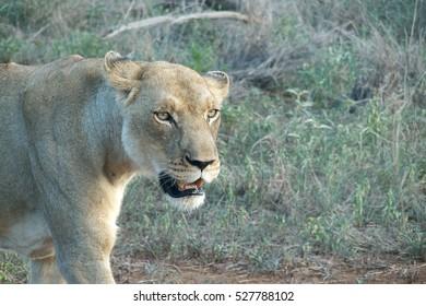 Female of lion head