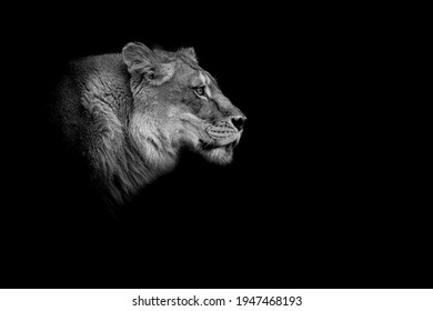 a female lion head in high contrast in black and white