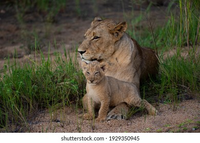 A Female Lion and her small cub seen on safari in South Africa