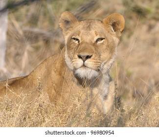 Female lion hunting in Khwai area of Botswana, Africa