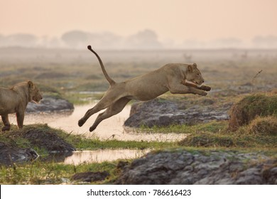 Female lion jumping over water