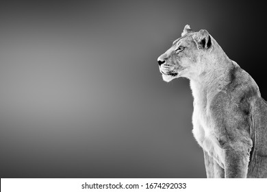 Female lion ( lioness) portrait highly alerted staring into the distance with copy, text space. Black and white. Kgalagadi. Panthera leo