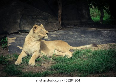 A female lion (lioness) is resting and bathing in the zoo.