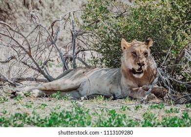Female lion lying under the green bush