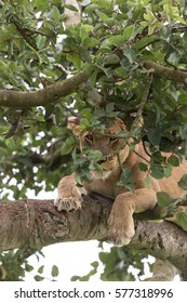 Female of lion is observing to something under a tree. It is picture female of lion on branch in crown of a tree. Photo lion is close up. It is portrait of lion on tree in soft light.