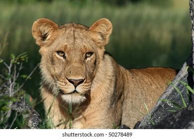 Female Lion Images, Stock Photos & Vectors | Shutterstock