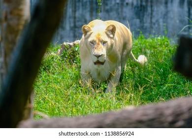 A female lion on the Serengeti Plains
