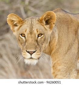 Female Lion (Panthera leo) in Samburu Reserve, Kenya