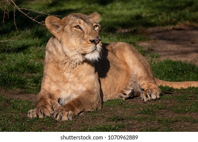Female of lion relaxing after long day