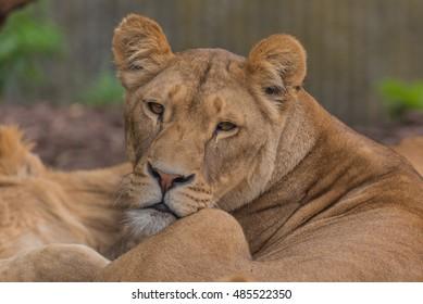 Female lion resting in Copenhagen zoo (Denmark)