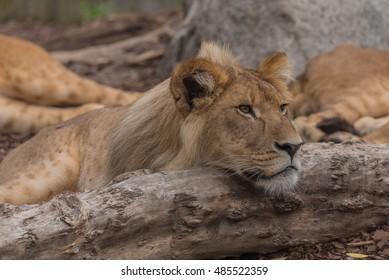 Female lion resting on a branch in Copenhagen zoo (Denmark)