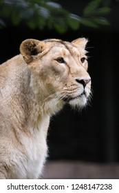 Female lion resting on grass