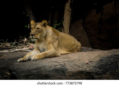 Female Lion resting and relaxing at zoo,