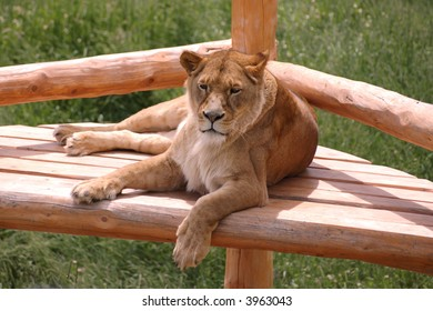 A female lion resting at the zoo