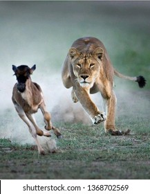 Female lion running to eat dear, South Africa - Image Beautiful lion king.
