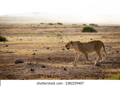 female lion in savanna stalking and hunting