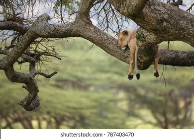 A female lion sleeping in a tree in Africa's Serengeti National Park.