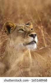 Female Lion Stare