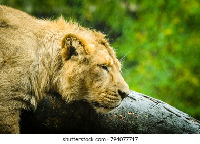 Female lion trying to sleep on a rainy day in the outdoors with raindrops falling on a green background