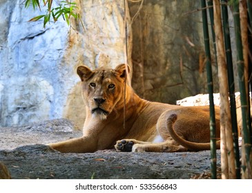 female lion in zoo thailand