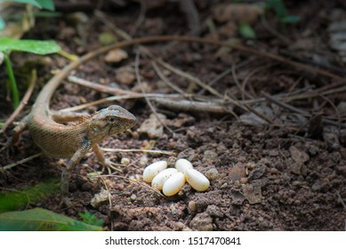 Female lizards are laying eggs.