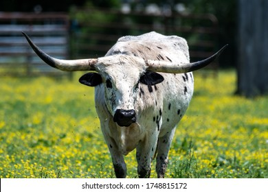 A female longhorn walks through a pasture surrounded by little yellow flowers.