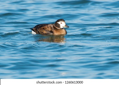 Female Long-tailed Duck swimming in the open water. Tommy Thompson Park, Toronto, Ontario, Canada.