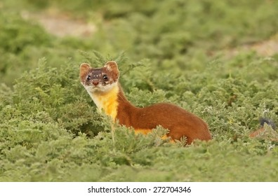 A female long-tailed weasel pauses to check for prey as she scurries through her territory.