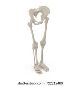 Female Lower Body Skeleton on white. 3D illustration