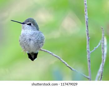 female lucifer hummingbird on branch, phoenix, arizona, united states. exotic colorful small bird against green backdrop. close up profile