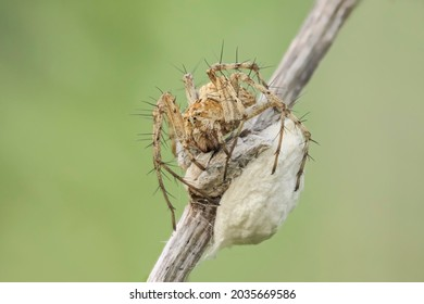A female lynx spider sits on a large white cocoon with her offspring, the cocoon is attached to a dry blade of grass. Macro photo of an insect in nature.