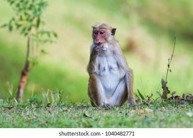 Female macaque monkey Macaca sinica in Sri Lanka