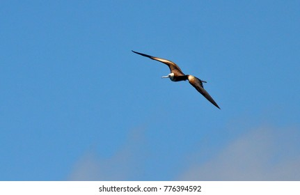 Female magnificent frigate bird flying overhead