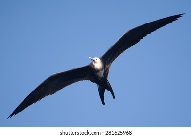 A female magnificent frigate bird (Fregata magnificens) flies overhead off the Galapagos Islands,  Ecuador, Pacific, South Americabird,