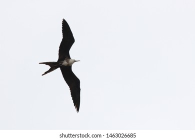 A female magnificent frigate bird,Fregata magnificens, flying