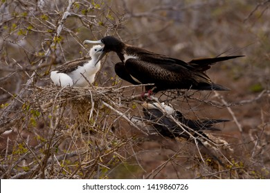 A female Magnificent Frigatebird feeds her chick on North Seymour Island in the Galapagos Island chain.