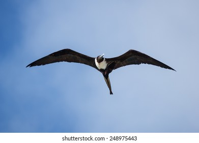 female magnificent frigatebird or Fregata magnificens flying in the Bahamas sky