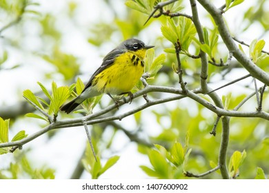 Female Magnolia Warbler perched on a branch. Ashbridges Bay Park, Toronto, Ontario, Canada.