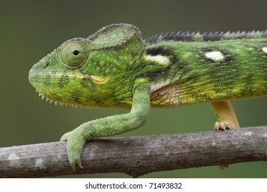 Female Malagasy Giant Chameleon (Furcifer oustaleti) in the Anja Nature Reserve, central Madagascar