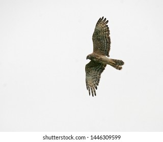 Female Malagasy Harrier (Circus macrosceles) in flight. Also known as the Madagascar harrier or Madagascar marsh harrier.