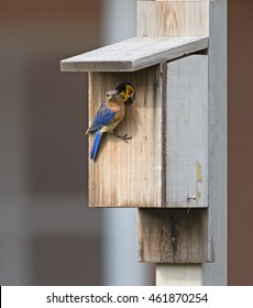 Female Male Bluebird at bluebird box and babies at the hole.
