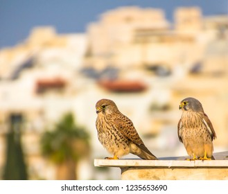 Female and male common kestrel (Falco tinnunculus),  aka European kestrel, Eurasian kestrel, or Old World kestrel,  bird of prey belonging to the falcon family an urban environment.