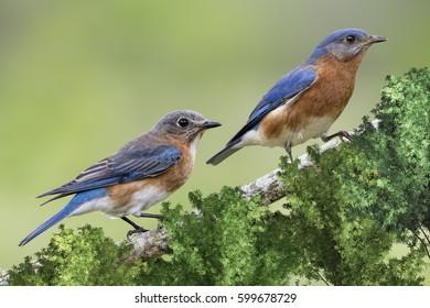 Female and Male Eastern Bluebirds in February in Louisiana