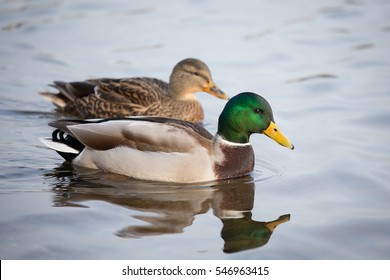 A female and a male mallard duck, swimming together