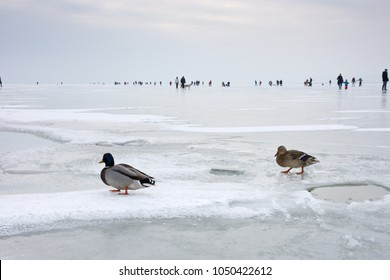 Female and male mallard ducks on the frozen Lake Neusiedlersee in dull cloudy and cold winter weather. Ice skating people in the background.