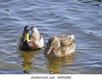 Female and male mallard in the pond