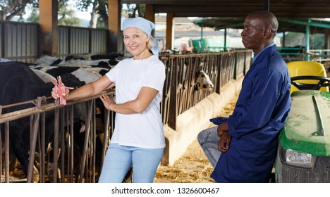 Female and male proffesional farmers  talking and working near cow at  farm
