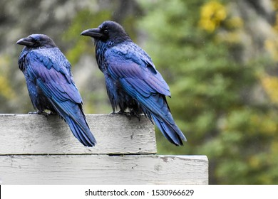 Female and male raven birds couple with illuminated purple feathers gazing at camera.jpg