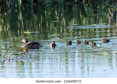 Female Mallard, Anas Platyrhynchos, swimming with her chicks in a pond
