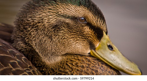 A Female Mallard duck - Anas platyrhynchos - portrait.  Horizontal profile close-up